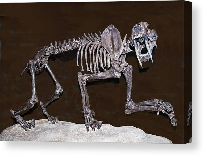 599367308 Nature Canvas Print featuring the photograph Smilodon Skull by Millard H.  Sharp