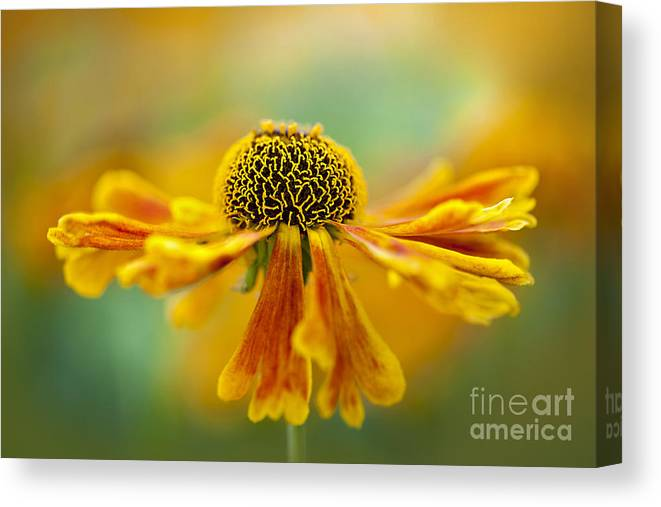 Helenium Canvas Print featuring the photograph Sneezeweed by Jacky Parker