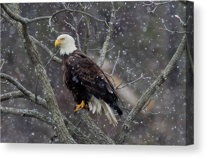 Bald Eagle Canvas Print featuring the photograph Snow Again by Nathan Harker