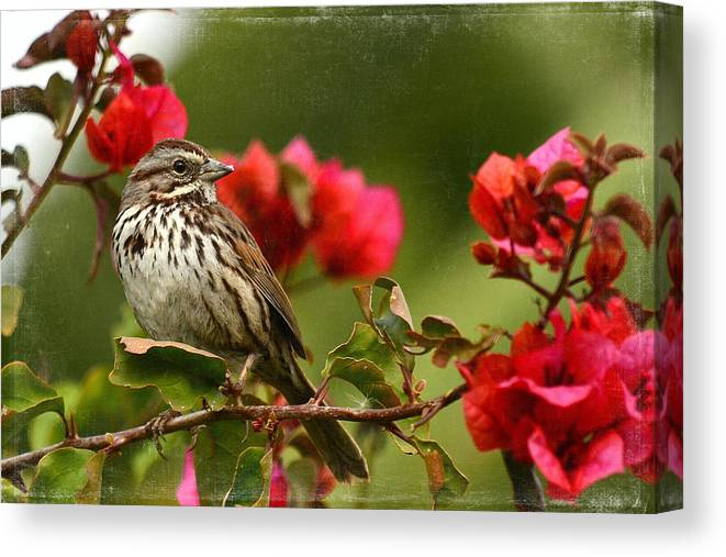 Sparrow Canvas Print featuring the photograph Sparrow Song 8 by Fraida Gutovich