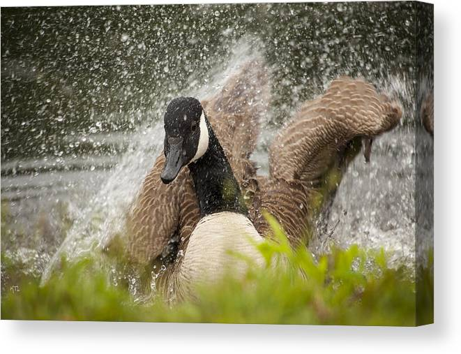 Canada Goose Canvas Print featuring the photograph Splishing And Splashing by Karol Livote