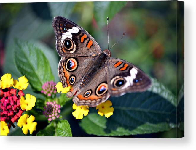 Spotted Canvas Print featuring the photograph Spotted Butterfly by Richelle Munzon