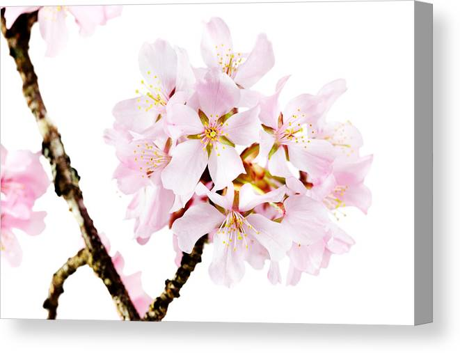 Cherry Blossom Canvas Print featuring the photograph Spring Beauty by Jo Ann Snover