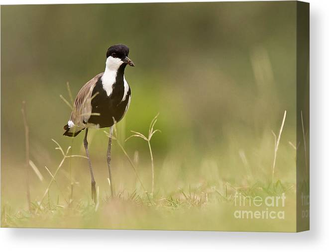 Vanellus Spinosus Canvas Print featuring the photograph Spur-winged Lapwing by Jean-Luc Baron