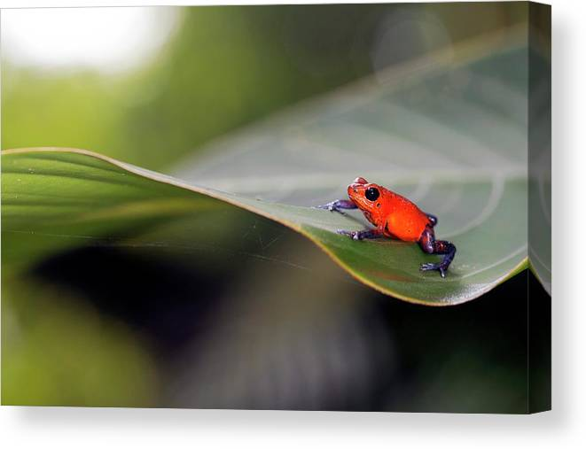 Animal Canvas Print featuring the photograph Strawberry Poison Frog by Nicolas Reusens