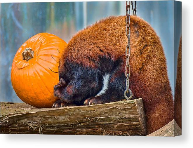 Red Panda Canvas Print featuring the photograph Stuck On by Greg Nyquist