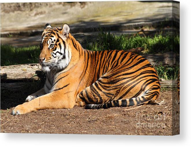 Tiger Canvas Print featuring the photograph Sumatran Tiger 7d27310 by Wingsdomain Art and Photography