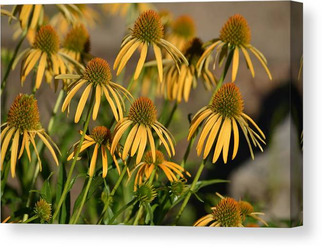 Summer Canvas Print featuring the photograph Summer Yellow Echinacea Flowers by P S
