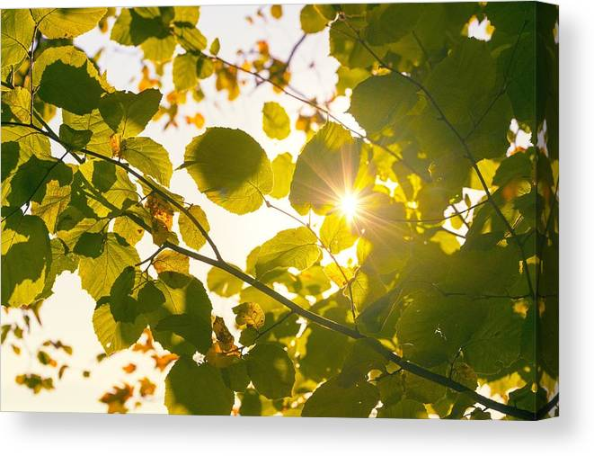 Leaf Canvas Print featuring the photograph Sun Shining Through Leaves by Chevy Fleet