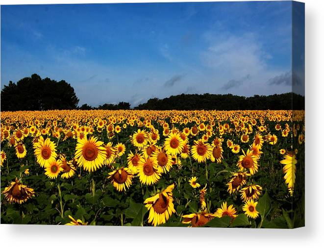 Flower Canvas Print featuring the photograph Sunflower Field by Paul Slebodnick