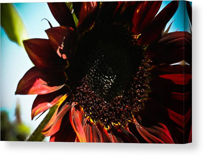 Mexican Canvas Print featuring the photograph Sunflower by Joel Loftus
