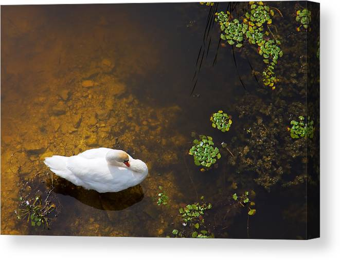 Animal Canvas Print featuring the photograph Swan With Sun Reflection On Water. by Jan Brons