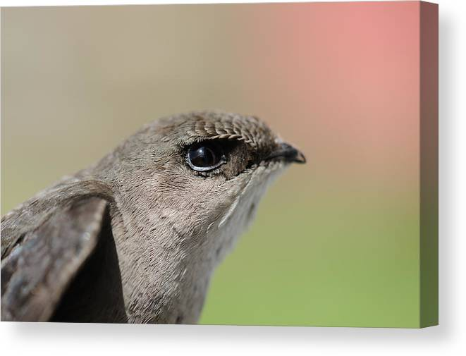 Chimney Swift Canvas Print featuring the photograph Swift by Ian Ashbaugh
