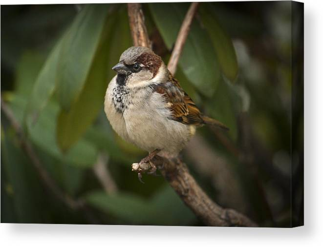 Bird Canvas Print featuring the photograph The Sparrow by Pedro Correa
