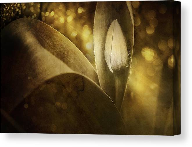Tulip Canvas Print featuring the photograph The Unveiling 2 by Scott Norris