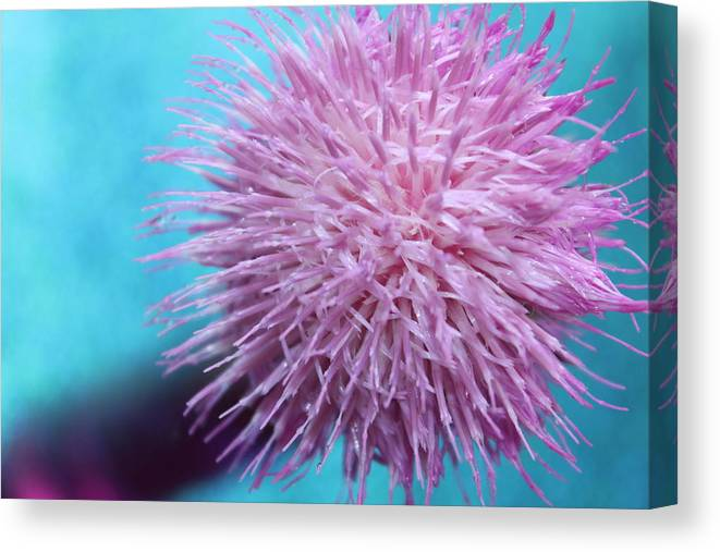 Thistle Canvas Print featuring the photograph Thistle Wish by Krissy Katsimbras