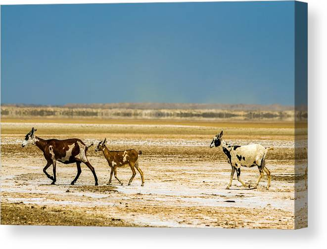 Goat Canvas Print featuring the photograph Three Goats In A Desert by Jess Kraft