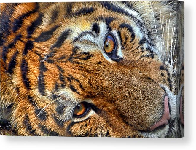 Tiger Eyes Canvas Print featuring the photograph Tiger Peepers by Thomas Woolworth