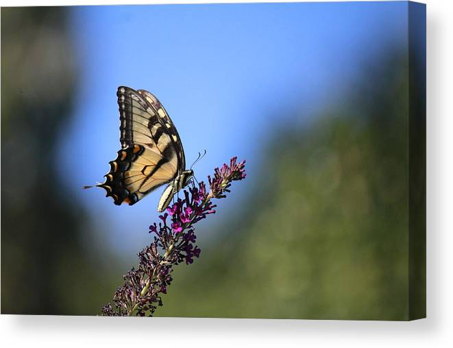 Solace Canvas Print featuring the photograph Tiger Swallowtail by David Jones