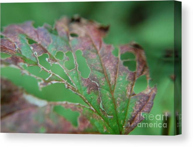 Foliage Canvas Print featuring the photograph Torn by Lisa Carroccio