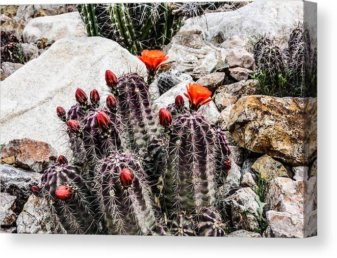 Trichocereusm Canvas Print featuring the photograph Trichocereus Cactus Flowers by Michael Moriarty