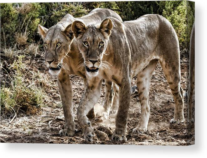 Two Pair Lions Kenya Africa Canvas Print featuring the photograph Twin Lions by Wendy White