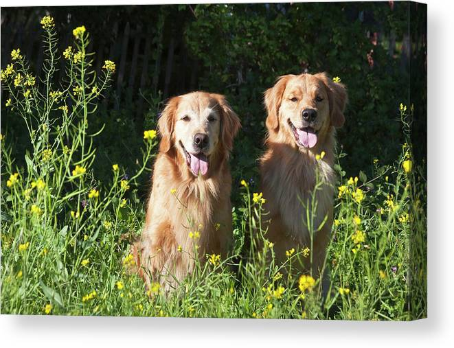 Adventure Canvas Print featuring the photograph Two Golden Retrievers Sitting Together by Zandria Muench Beraldo