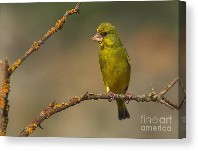 Greenfinch Canvas Print featuring the photograph Greenfinch by Guido Montanes Castillo