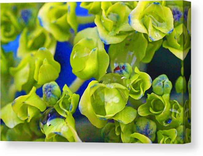 Style Canvas Print featuring the photograph Very Young Hydrangea by Mark Tsemak