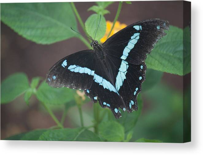 Butterfly. Art Canvas Print featuring the photograph Victory by Ronald Lake