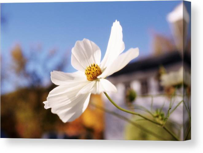 White Cosmos Flower Canvas Print Canvas Art By David Mcglynn