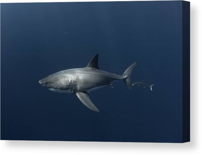 Great Canvas Print featuring the photograph White Shark With Fish by David Valencia