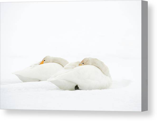 Animal Canvas Print featuring the photograph Whooper Swans Resting On Snow by Dr P. Marazzi