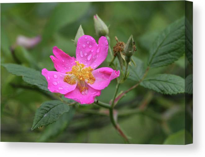 Wild Rose Canvas Print featuring the photograph Wild Rose by Reva Dow