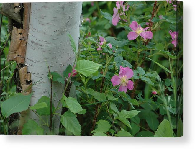 Birch Tree Canvas Print featuring the photograph Wild Roses With Birch Tree by Hella Buchheim