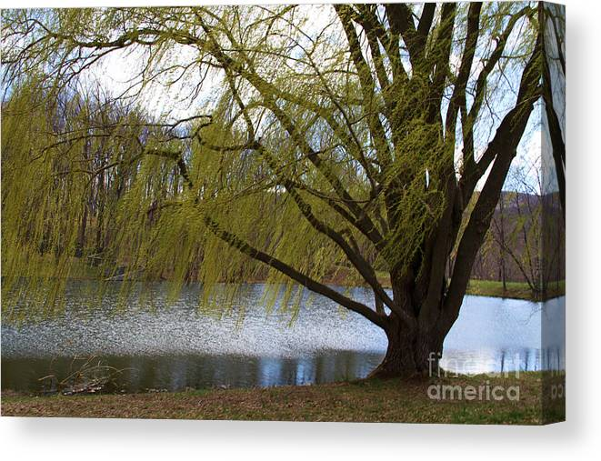 Canvas Print featuring the photograph Willow Tree by Gemblue Photography