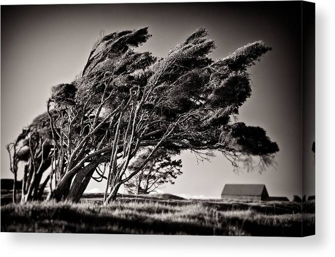 Windswept Trees Canvas Print featuring the photograph Windswept by Dave Bowman