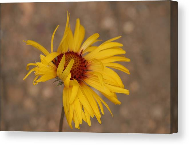 Flower Canvas Print featuring the photograph Windy Flower by Gregory Yost