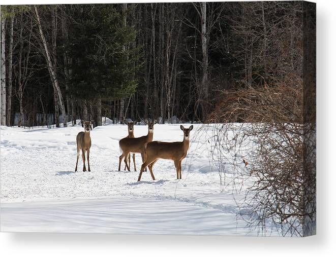 Nh Canvas Print featuring the photograph Winter Friends by Jeffrey Akerson