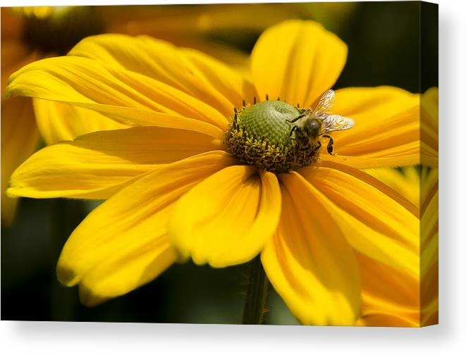 Daisy Canvas Print featuring the photograph Yellow Daisy by Irene Theriau