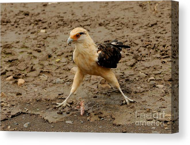 Yellow-headed Caracara Canvas Print featuring the photograph Yellow-headed Caracara by Sue Jarrett