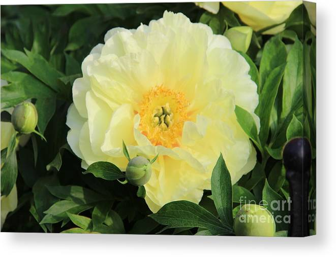 Yellow Peony Canvas Print featuring the photograph Yellow Peony by Rod Ismay