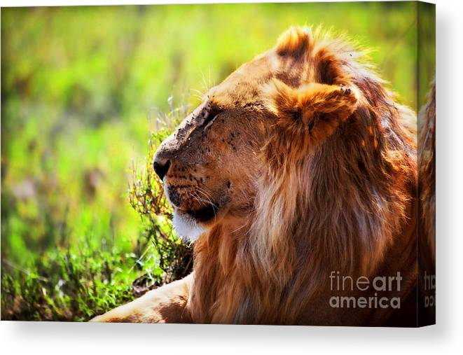 Lion Canvas Print featuring the photograph Young Adult Male Lion On Savanna. Safari In Serengeti by Michal Bednarek