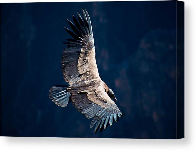 Peru Canvas Print featuring the photograph Young Andean Condor by Kent Nancollas