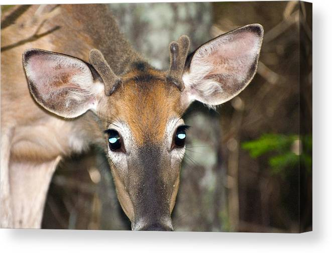 Deer Canvas Print featuring the photograph Young Buck by Glenn Gordon