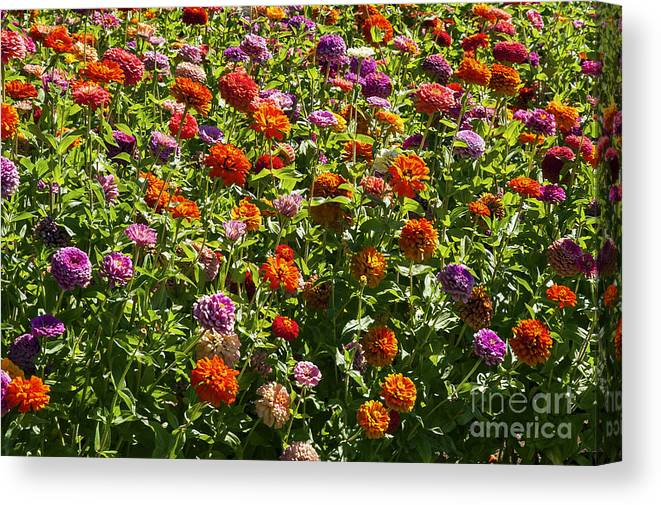 Napa Valley California Flower Flowers Plant Plants Garden Gardens Zinnia Zinnias Canvas Print featuring the photograph Zinna Variety by Bob Phillips