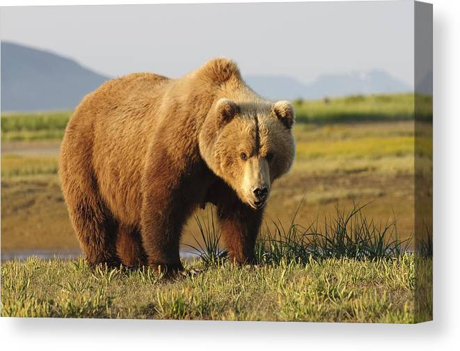 Animals In The Wild Canvas Print featuring the photograph A Brown Grizzly Bear Ursus Arctos by Deb Garside