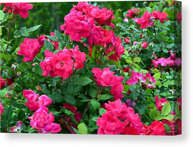 Red Roses Canvas Print featuring the photograph A Rose Is A Rose.... by Tanya Tanski