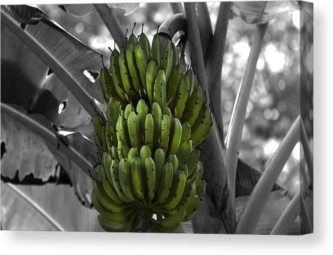 Banana Canvas Print featuring the photograph Bunch Of Bananas by Gord Patterson