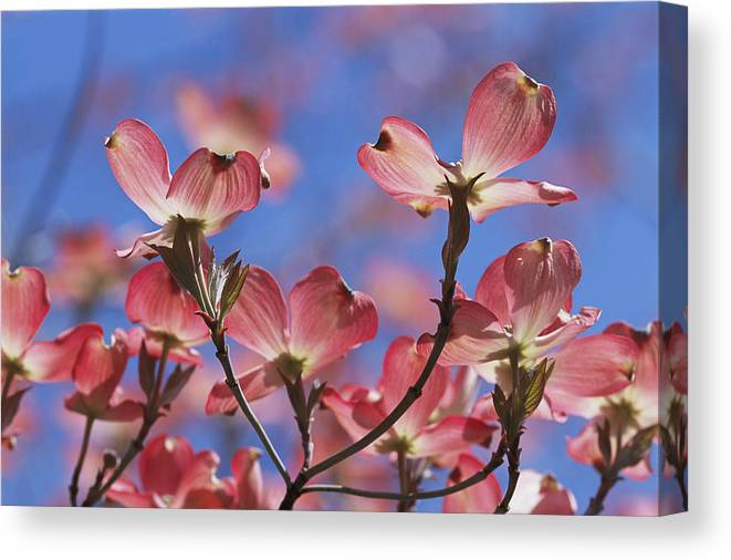 Plants Canvas Print featuring the photograph Close View Of Pink Dogwood Blossoms by Darlyne A. Murawski